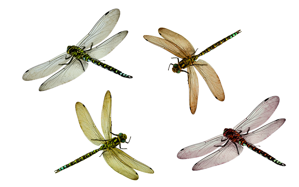 Transparent bugs wing. Dragonfly png images pluspng