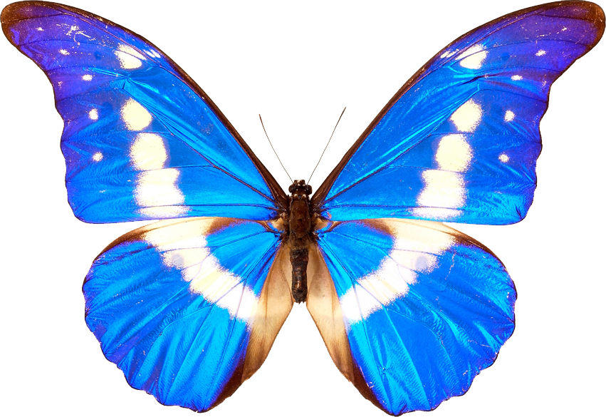 Transparent butterfly png. Butterflies pictures free icons