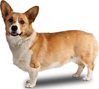 Transparent corgi. Dog side view png picture freeuse download
