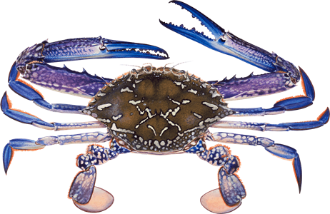 Transparent crab gulf. Recommendations from the seafood