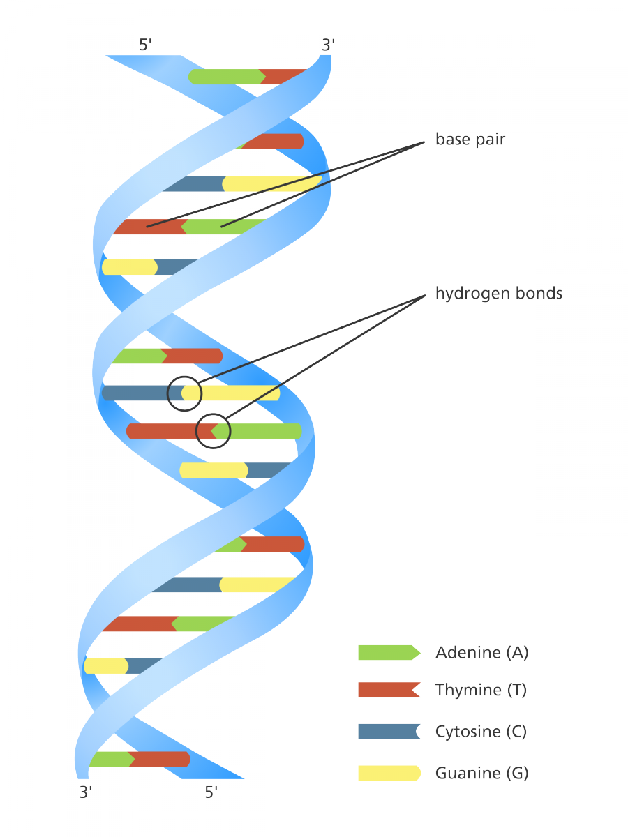 Transparent dna twisted ladder. What is facts yourgenome