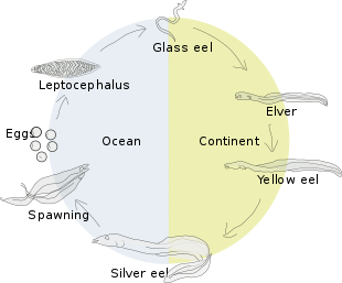 Transparent eel chainlink. Wikipedia lifecycle of a