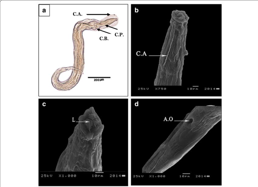 Transparent worms microscopic. A d photomicrographs of