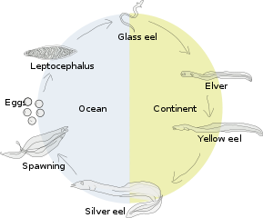 Transparent eel migration. European wikipedia lifecycle of