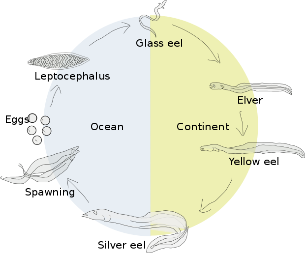 Transparent eel leptocephalus. Wikiwand lifecycle of a