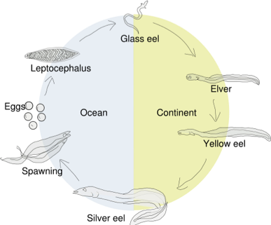 Transparent eel leptocephalus. And electric facts image