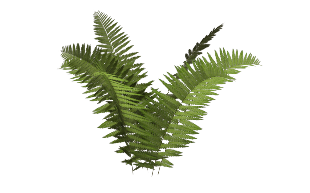 Transparent fern background. Ostrich plant tree ecology