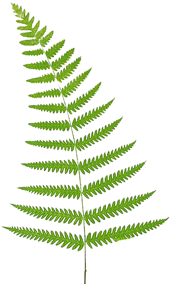 Transparent fern jungle. Ferns png pictures free