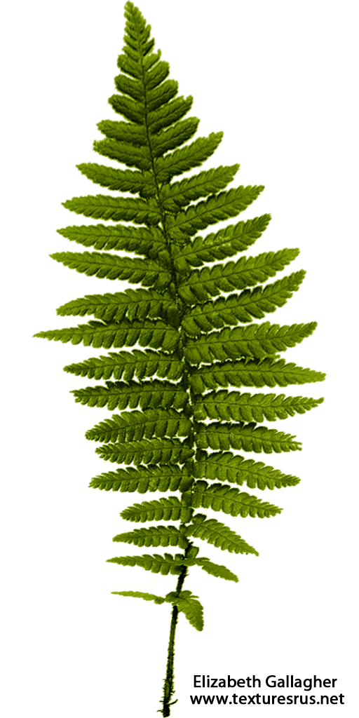 Transparent fern leaves. Ferns png pictures free