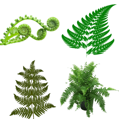 Transparent fern mountain. Nature png images stickpng