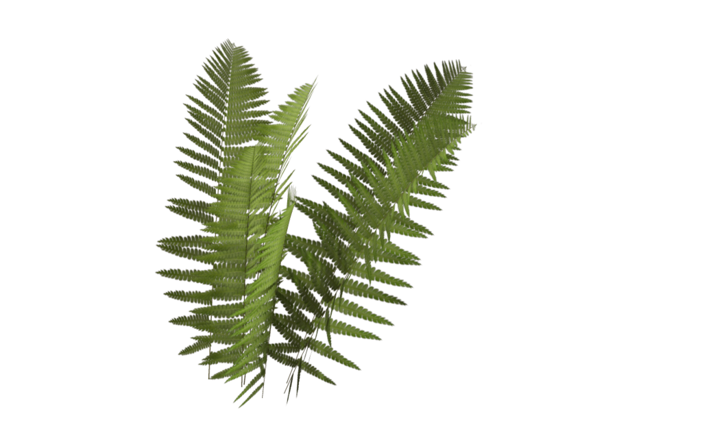 Transparent fern plant leaves. Leaf rendering transprent png