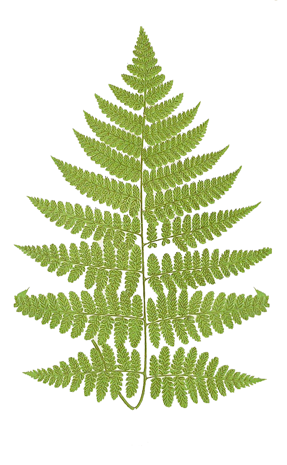Transparent fern plant leaves. Ferns png pictures free