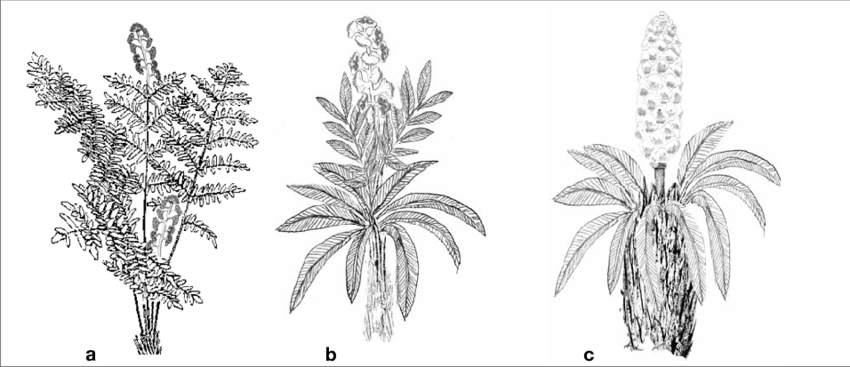 Transparent fern triassic. Evolution of cycas plant
