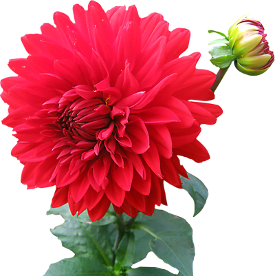 Transparent flower png. Download free image and