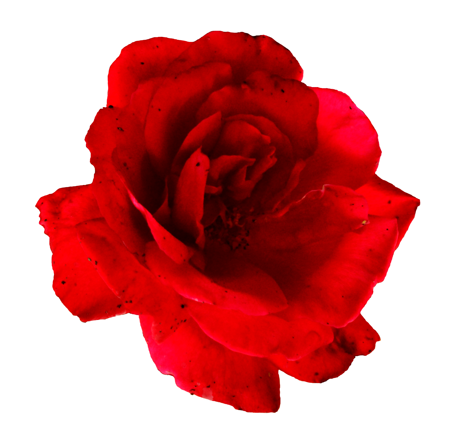 flower red rose. Transparent flowers png image free library