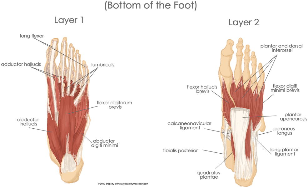 Transparent foot bottom. Download the muscles of