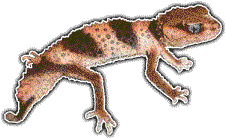 Transparent gecko banded. Collectible art decals knobtailed