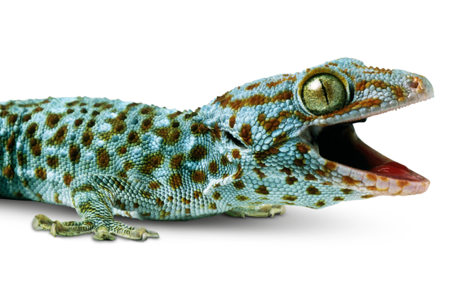 Transparent gecko. Facts about geckos where