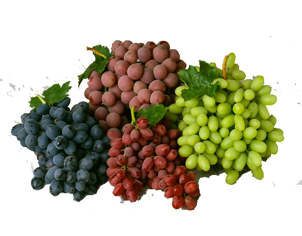 Molina group we characterize. Transparent grapes high quality graphic black and white stock