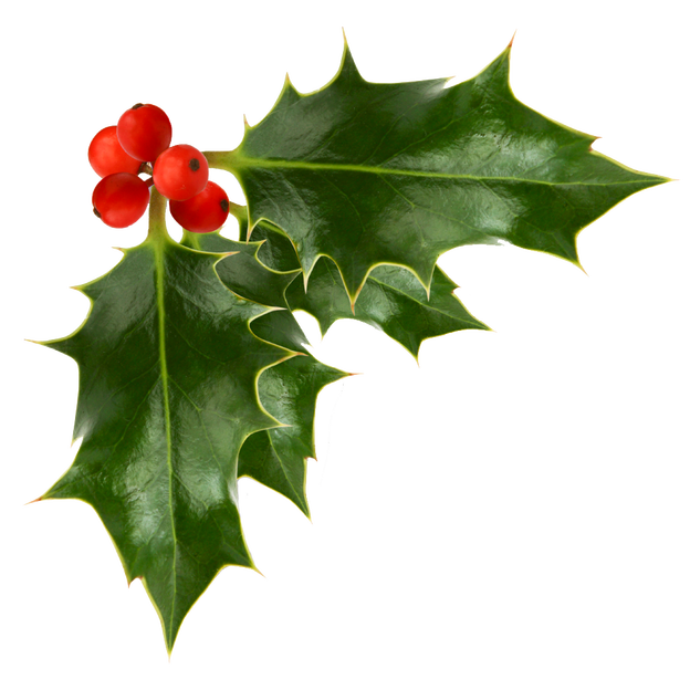 Transparent holly. Berries image festive background