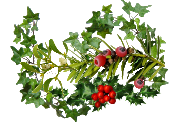 Transparent holly and ivy. Yew mistletoe dogsnet