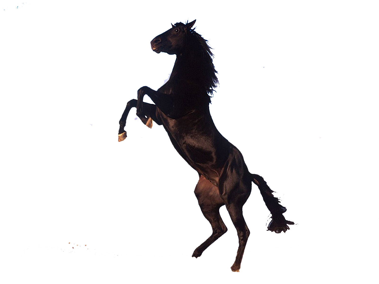 Transparent horses rearing. Horse png pictures free