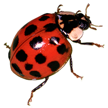 Transparent ladybug unique. Products ladybugs beneficial insects