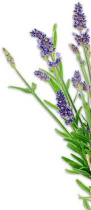 Transparent lavender herb. Books and helpful links
