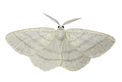 Transparent moth. White butterfly insect wings