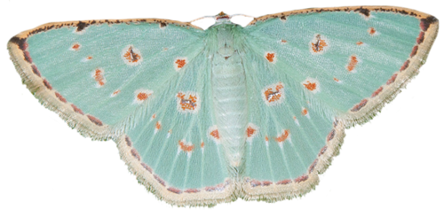Transparent moth blue green. Pin by jessica painter