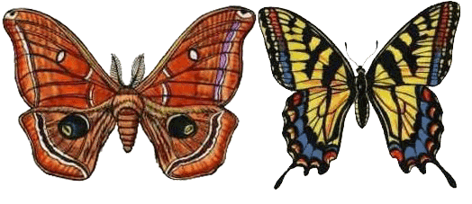 Transparent moth butterfly. Vs basic physical differences