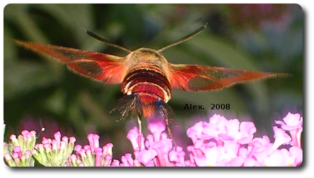 Transparent moth clear wing. Hummingbirds and sphinxes hummingbird
