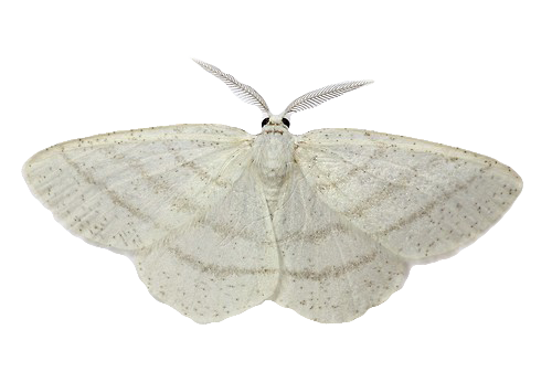 Transparent moth different. Flowers common white wave