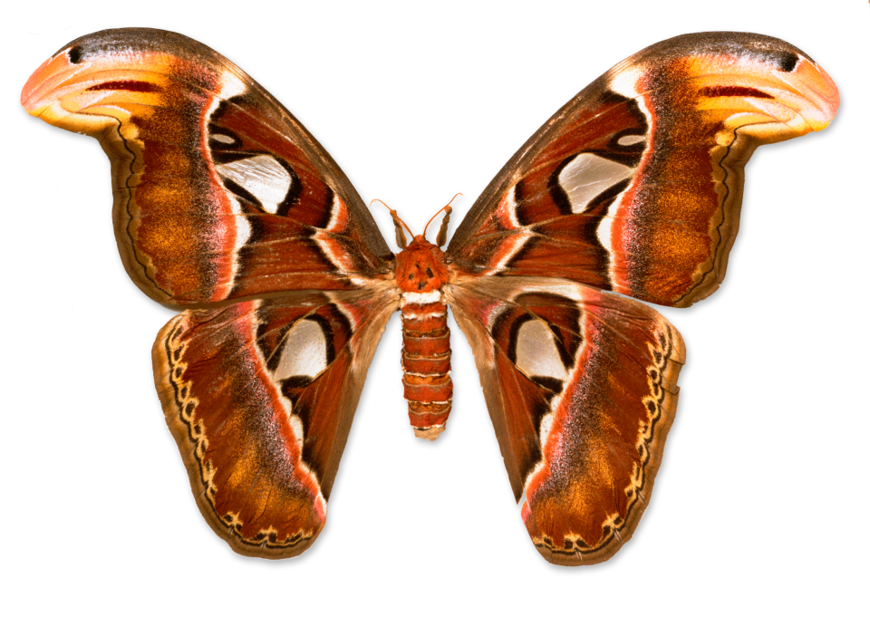Transparent moth giant. Types of butterflies facts