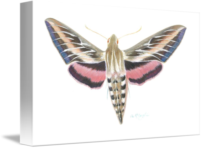 Transparent moth sphinx. White lined by lisa