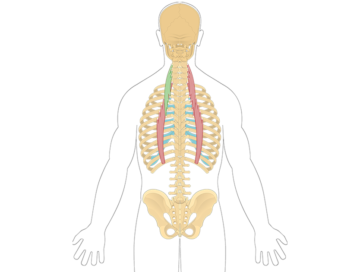 Transparent muscles back. Anatomy that act on