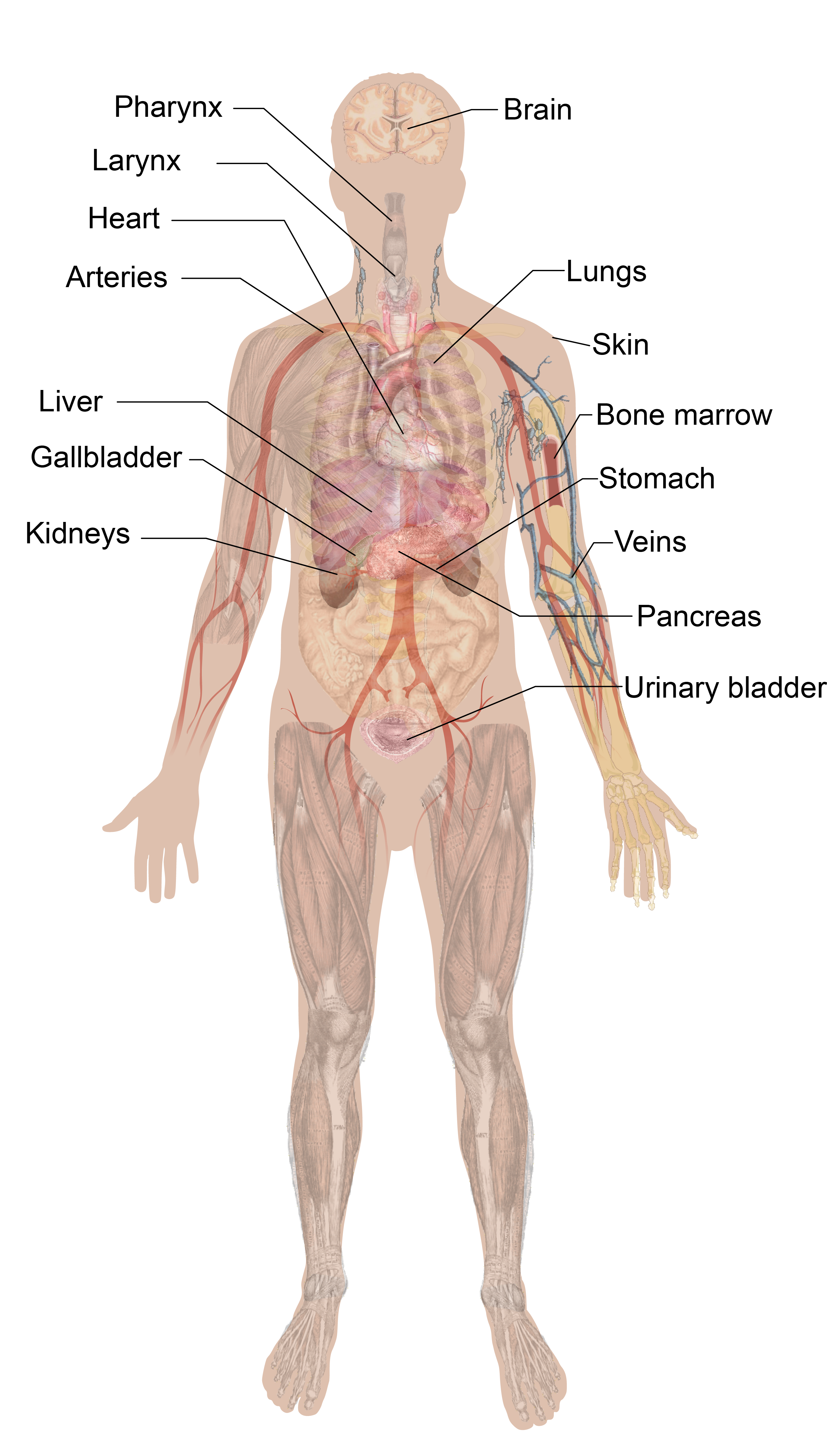 Transparent Muscles Body Diagram Transparent Png Clipart Free