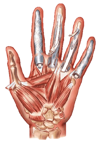 Transparent muscles hand. Muscular system on emaze