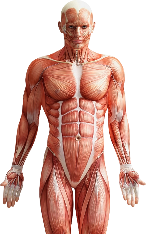 biggest muscles in the human body - 618×989