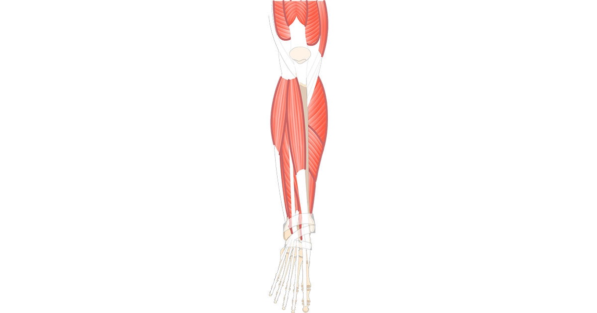 Transparent muscles leg. That act on foot