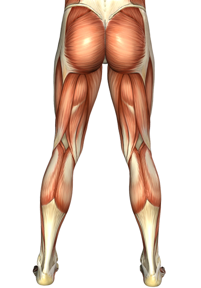 Transparent muscles leg. Of the posterior