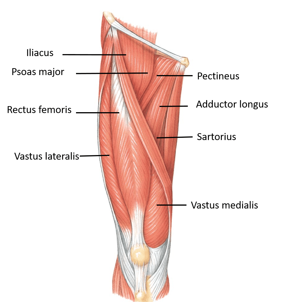 Transparent muscles leg. Anterior compartment of thigh