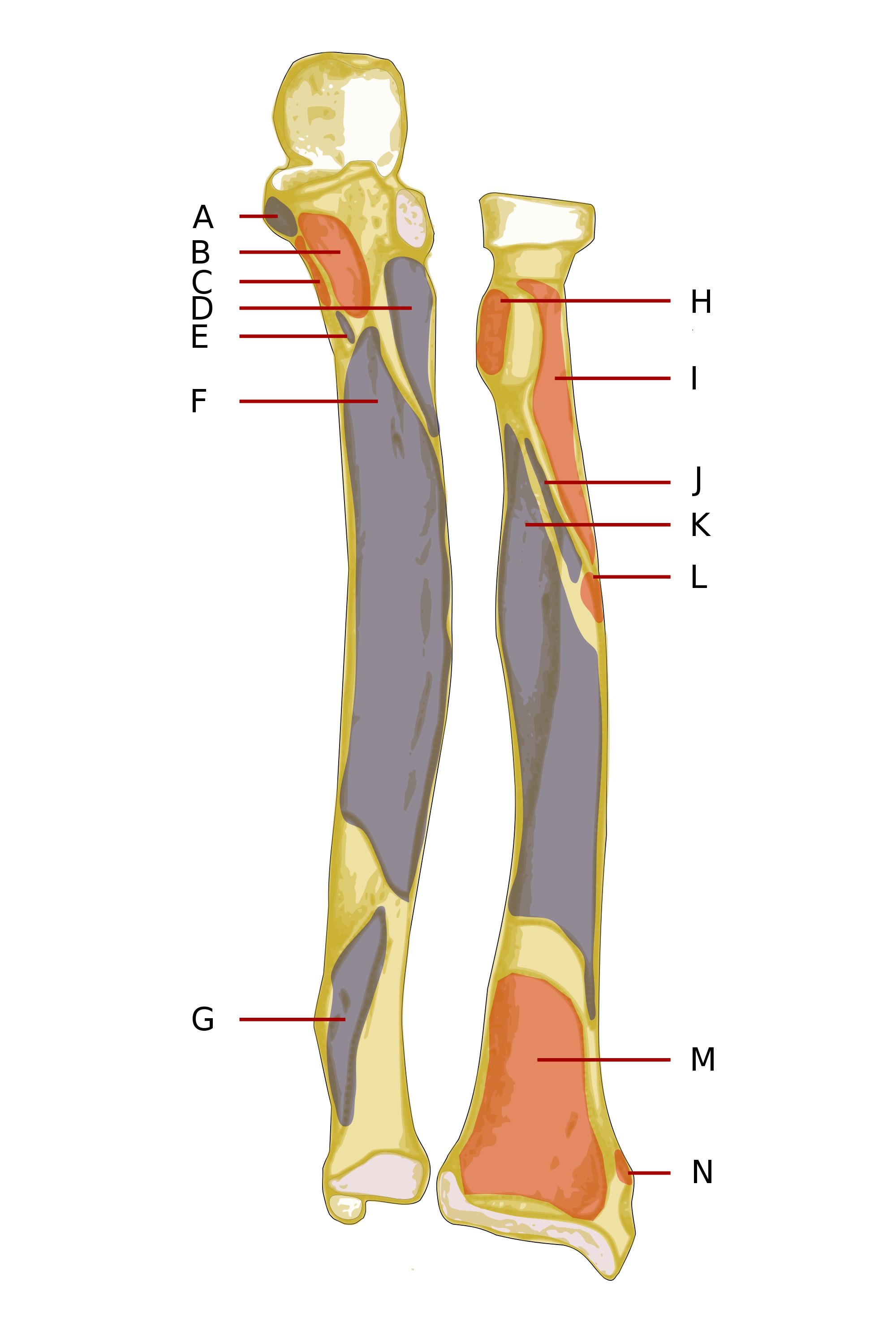 Transparent muscles svg. File ulna radius front