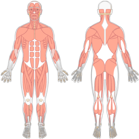 Transparent muscles unlabeled. Muscle diagram blank charts