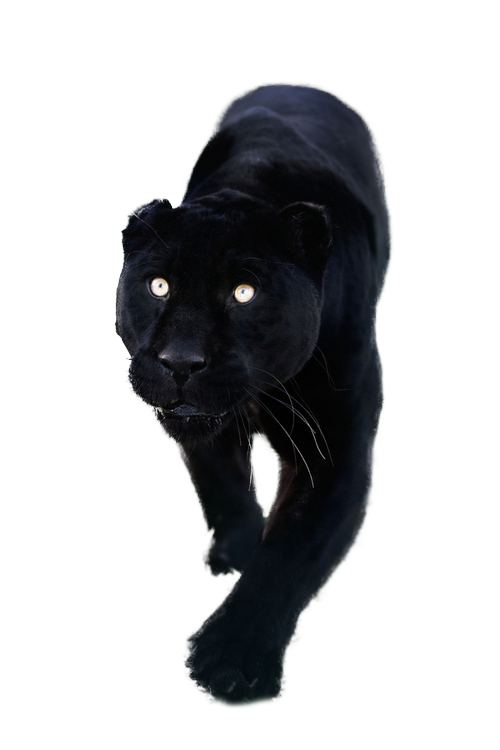 Transparent panther png. Totally resources images pinterest