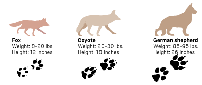 Transparent paw coyote. How to recognize a