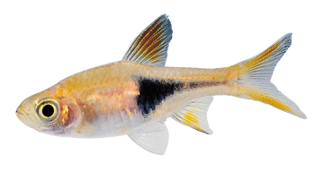 Transparent photographs fish. Pure css rendering of