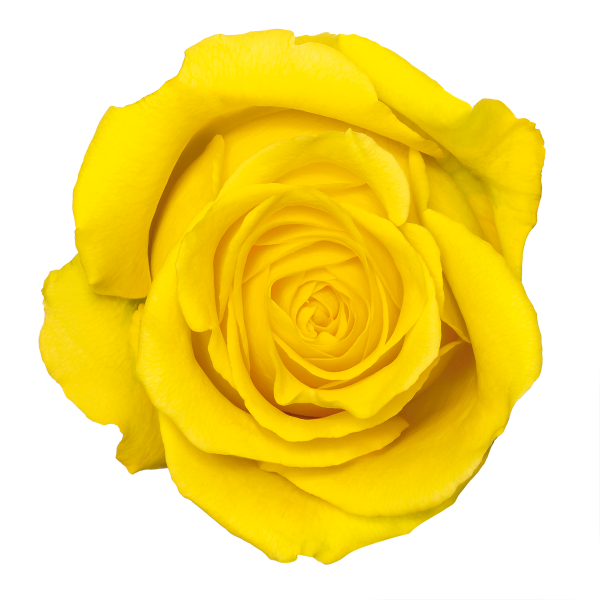 Transparent photographs yellow. Rose flower free png