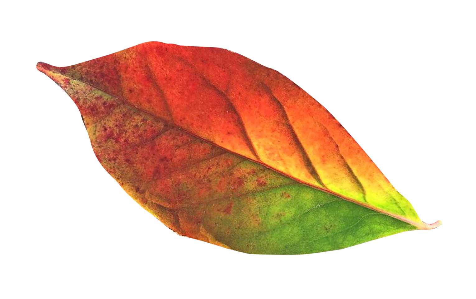 Transparent photography leaf. Autumn png image purepng