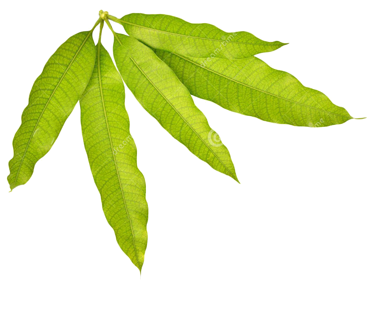 Transparent photography leaf. Mango stock leaves transprent